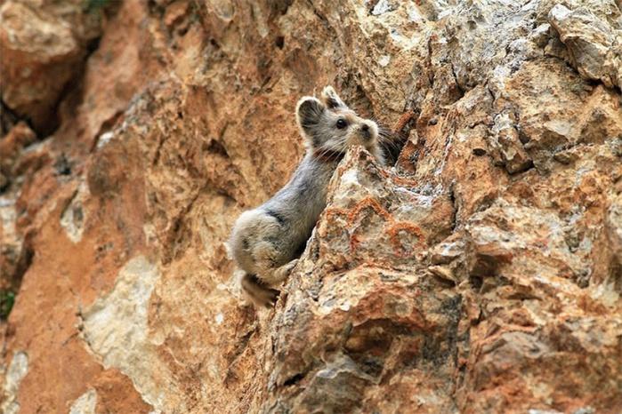 14552910-R3L8T8D-1000-rare-endangered-animal-teddy-bear-magic-rabbit-ili-pika-china-3 (1000x667, 169Kb)