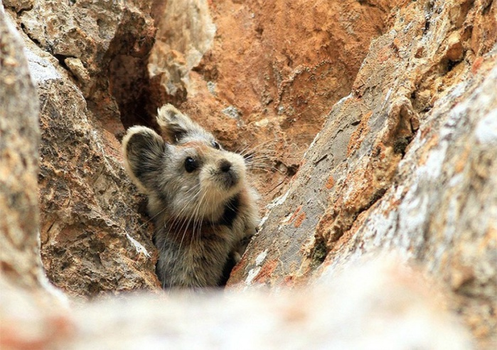 14552860-R3L8T8D-1000-rare-endangered-animal-teddy-bear-magic-rabbit-ili-pika-china-4 (1000x704, 170Kb)