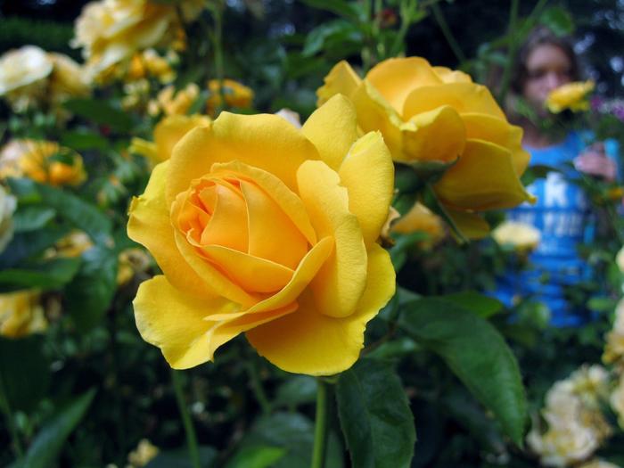 3.желтая роза (700x525, 386Kb)