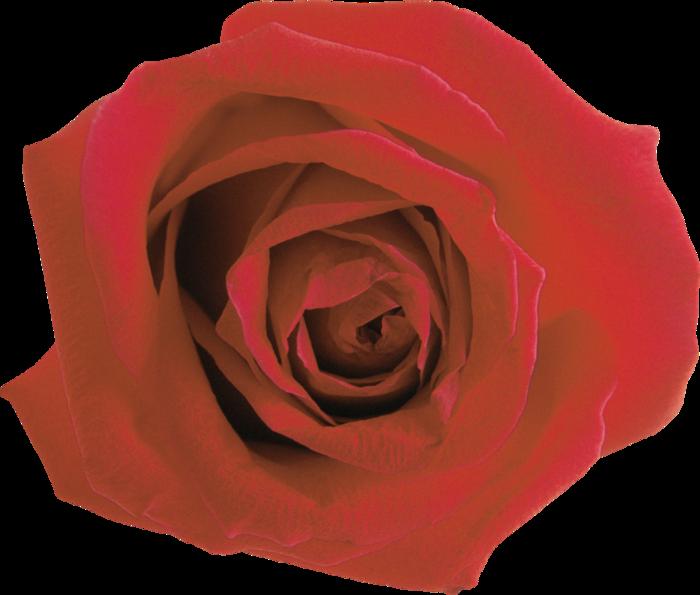roza2 (18) (700x595, 482Kb)