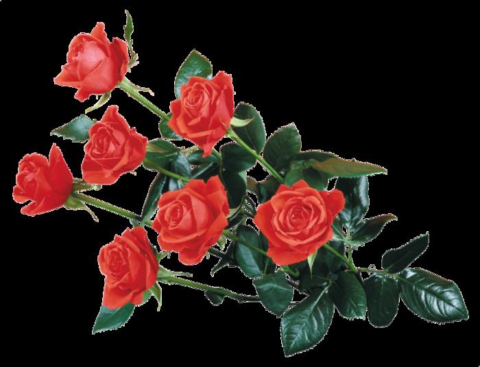 roza2 (24) (700x535, 330Kb)