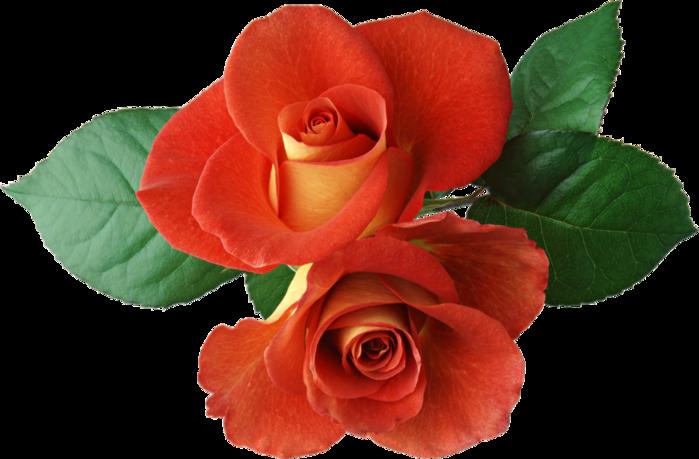 roza2 (45) (700x459, 368Kb)