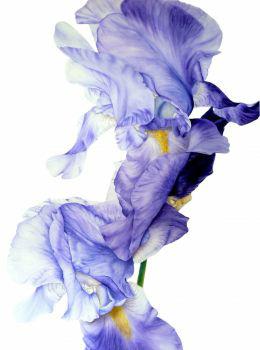 blue-iris-ii-1371586542 (260x350, 57Kb)