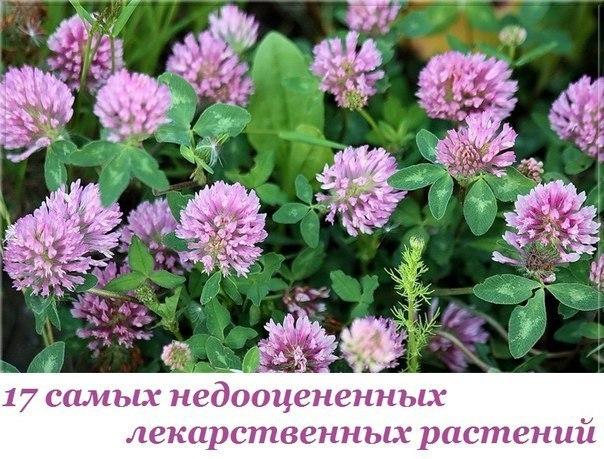 17 самых недооцененных лекарственных растений (604x459, 92Kb)