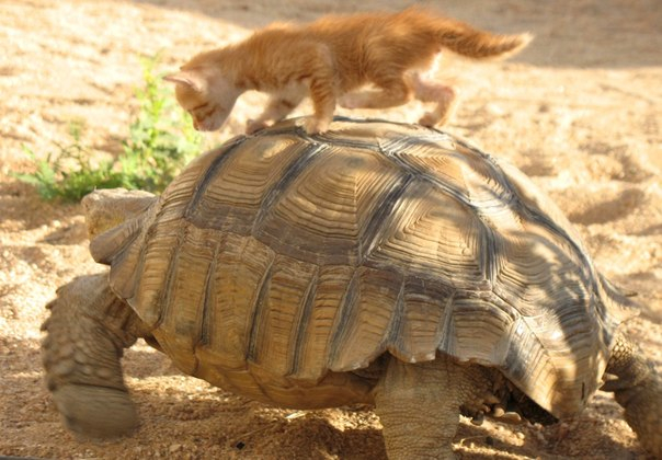 не могла пройти мимо 2 кошка и черепаха (604x420, 253Kb)