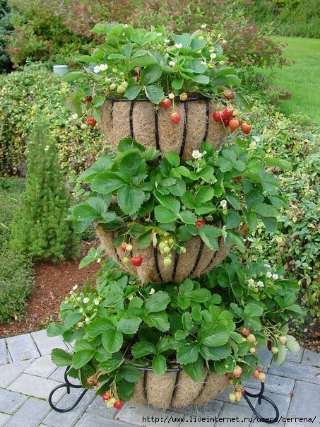 оригинальная урожайная грядка для клубники/4630982_gryadka_zemlyanika (453x604, 266Kb)