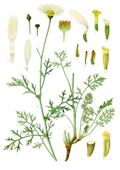 Tanacetum_cinerariifolium_-_Köhler–s_Medizinal-Pflanzen-269 (420x597, 198Kb)
