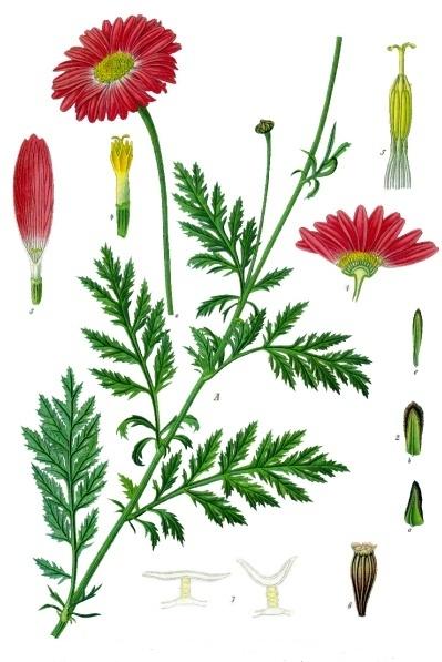 Tanacetum_coccineum_-_Köhler–s_Medizinal-Pflanzen-035 (399x597, 216Kb)