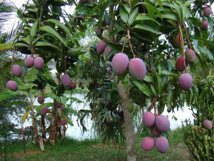 манго (700x525, 531Kb)
