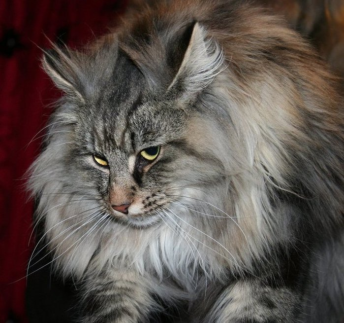 3085196_NorwegianForestCat3 (700x655, 117Kb)