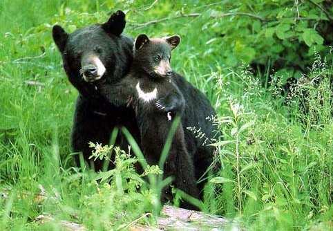 Гималайский медведь (482x334, 33Kb)