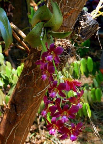 Орхидея в дикой природе фото