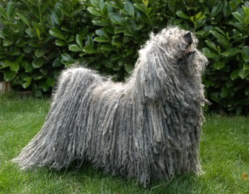 Собаки-декоративные-Пули-внешний вид (500x389, 179Kb)