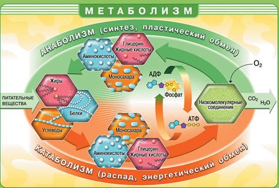 метаболизм/3414243_Bio10_23_2 (574x388, 44Kb)