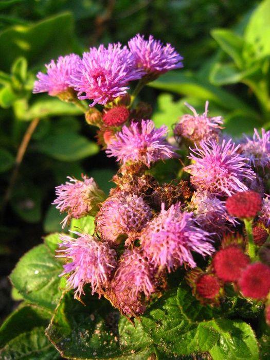 что настоящему цветок медвежьи ушки фото Цзямусах знаете