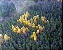 Свастика из деревьев