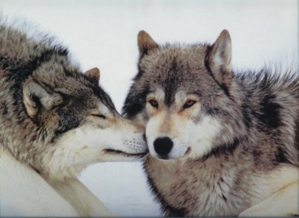 Рубрики волки