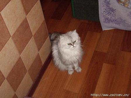 Персидские коты и кошки
