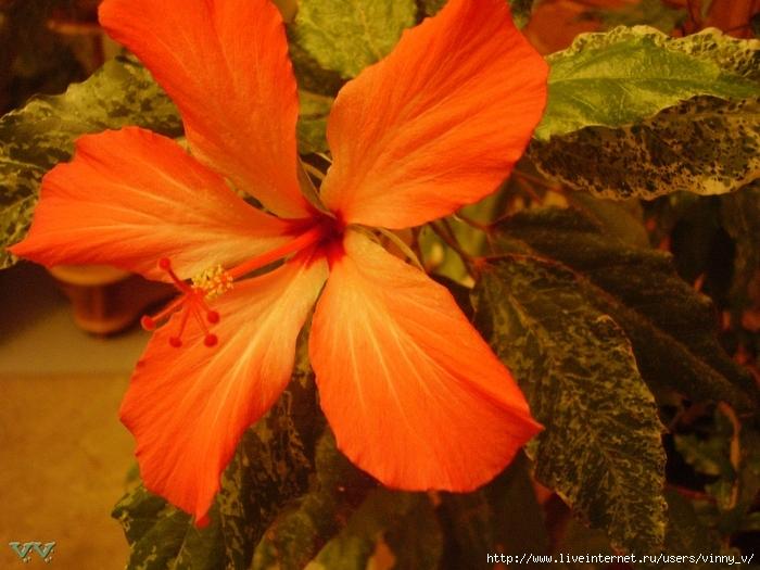 Фото цветок гибискуса китайская роза