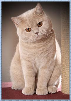 Британская кошка кремового окраса.