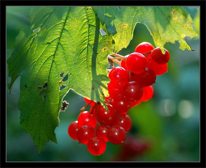 где растет жимолость: куплю ягоды калины, мультик про ягоды.