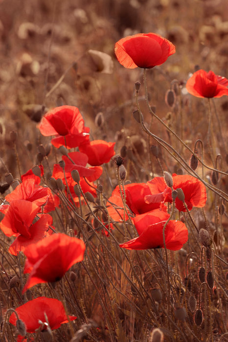 Poppies_at_sunset_by_Floriandra (466x699, 94Kb)