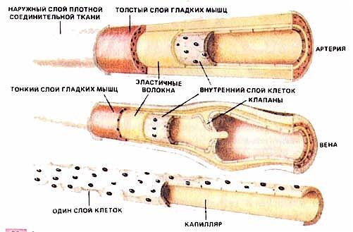 приносящие лимфатические сосуды; выносящие лимфатические сосуды; стенка лимфатического сосуда; клапан; лимфатический...