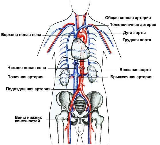 Схема главных кровеносных