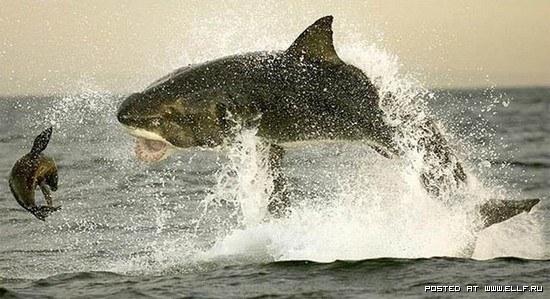 Большая Белая Акула на охоте.