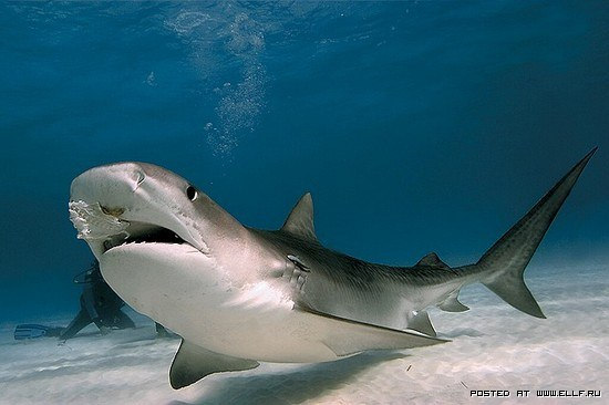 ...акулы: тигровая, акула-молот, мако, белоплавниковая, бычья, песчаная...