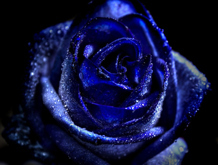 http://img0.liveinternet.ru/images/attach/c/0/36/607/36607989_35066035_1226339268_Blue_rose_HDR_by_eyedesign.jpg