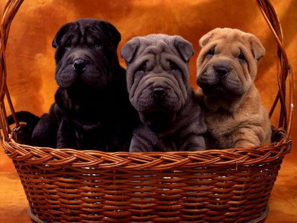 щенки, собаки, шарпей, корзина обои.