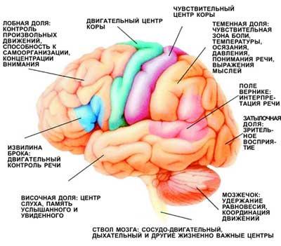 картинка мозжечка