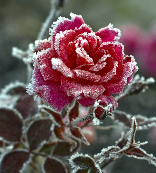 фото розы на снегу