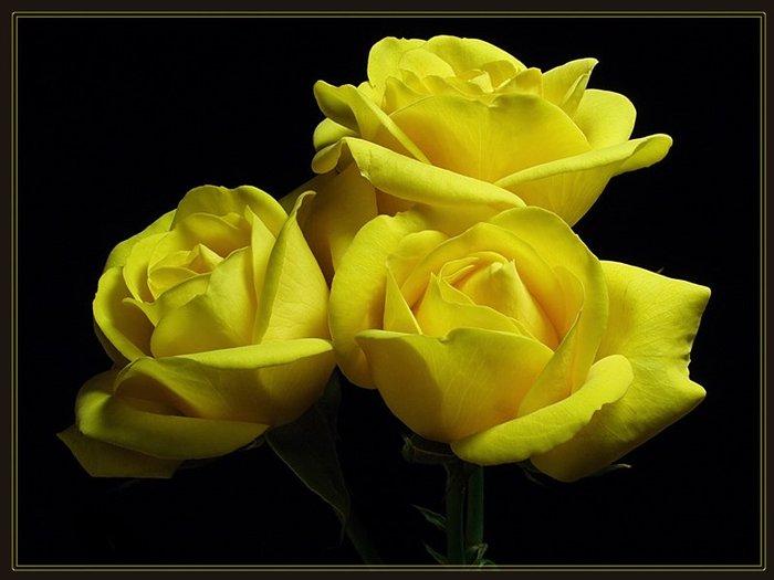 Интересен символ жёлтой розы -Сила духа, солнце, дружба, жизнь,Свет, добро, вкус зрелости и грёзы.