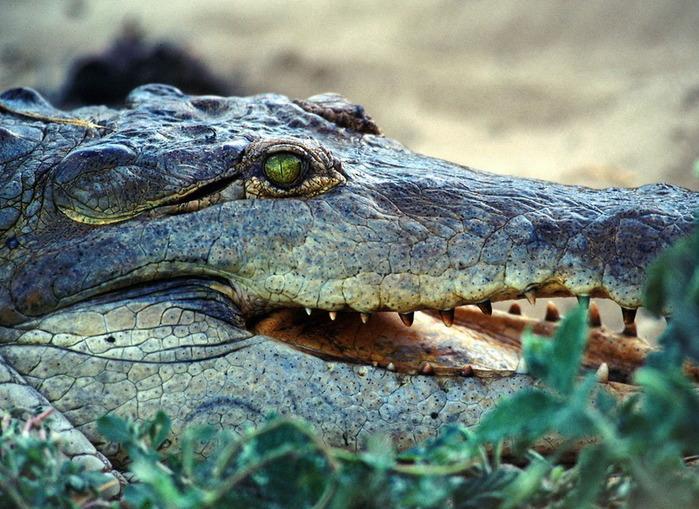 0707_krokodil (699x509, 153Kb)