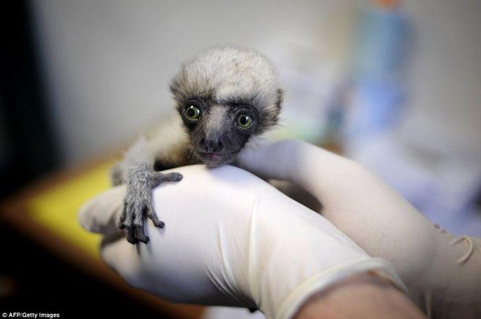 lemur_01 (700x465, 25Kb)
