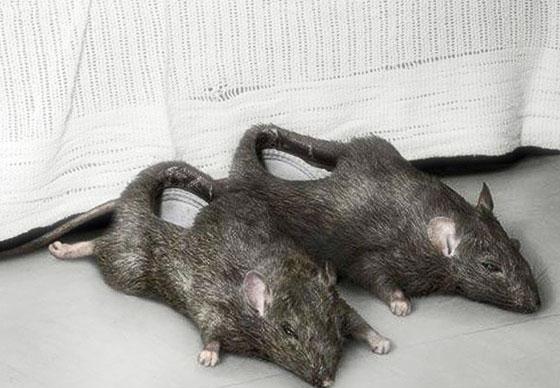 тапки крысы