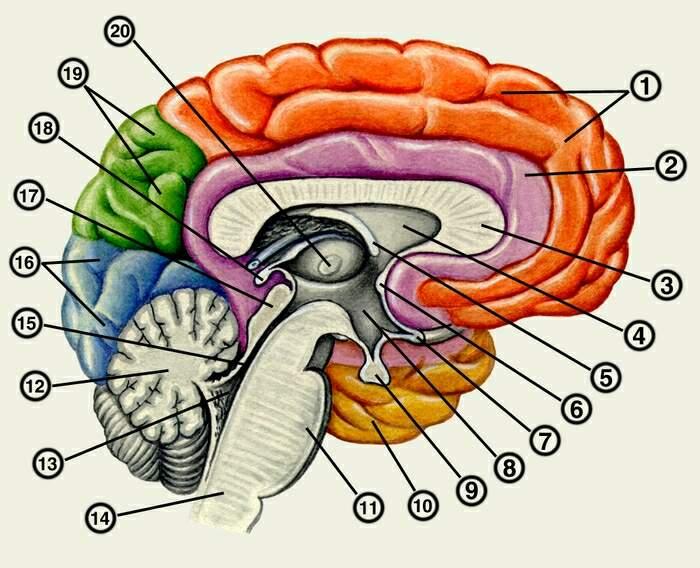 Сагиттальный разрез головного