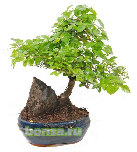 С ароматом чайное дерево беларусь