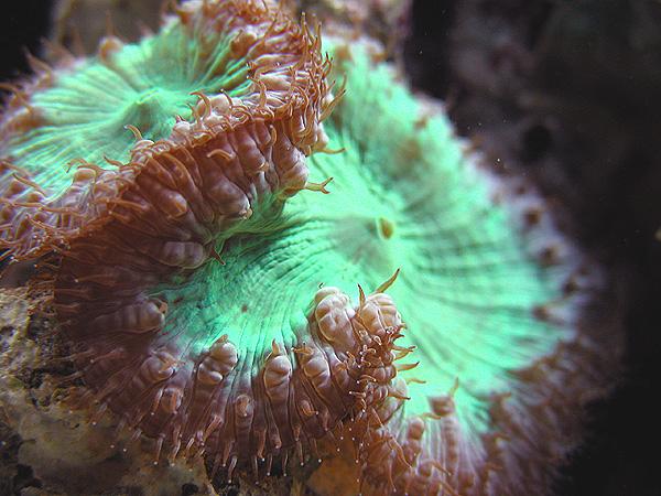Коралловые полипы обитают в тёплых тропических морях, где температура...