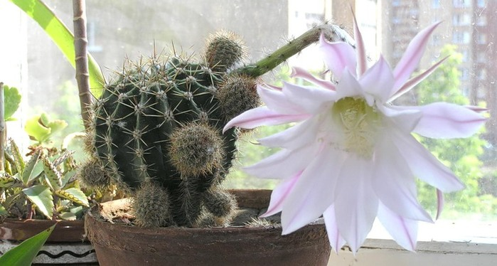 Фото цветов домашних кактусов