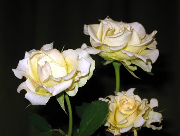Белые розы минусовка