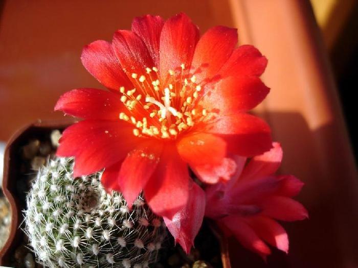 Родина кактусов - Америка, вернее большая часть Южной Америки, вся Центральная Америка и юг Северной Америки...
