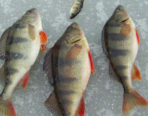 Попытки «омолодить» китайскую рыбу на три месяца не понравились петербургскому Россельхознадзору