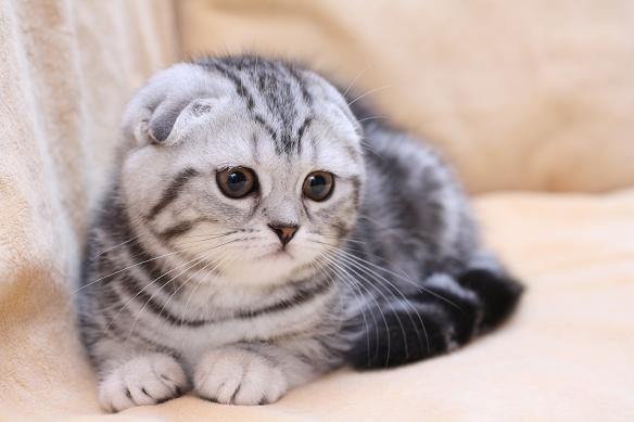 шотландская вислоухая кошка фото - фотография 10.