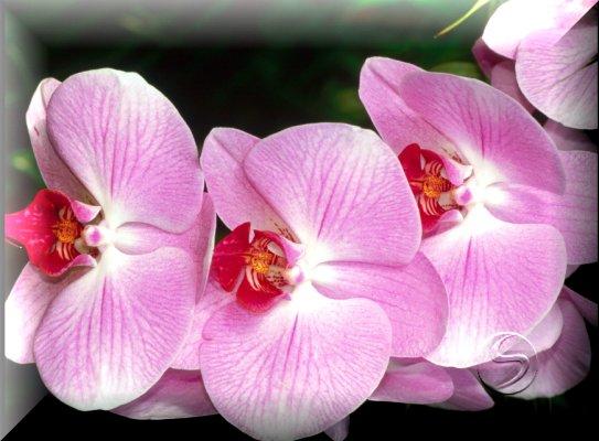 Мотылек Орхидея (Moth Orchid)