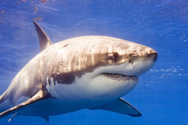 Королева океана - белая акула (12 фото)