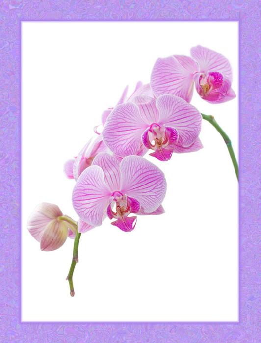 Розовая орхидея.