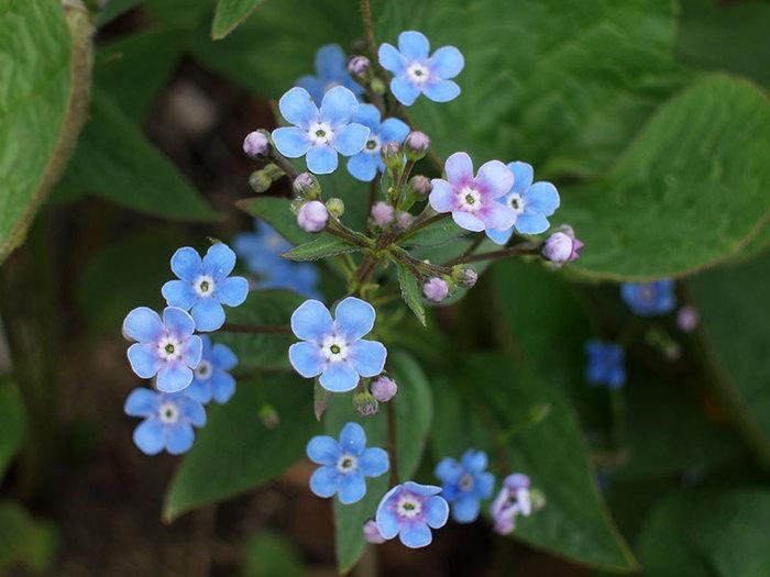 """Не зря же назван цветок незабудкой:  """"не забывай """",  """"будь верен """",  """"помни """".  Так называется цветок и у немцев..."""